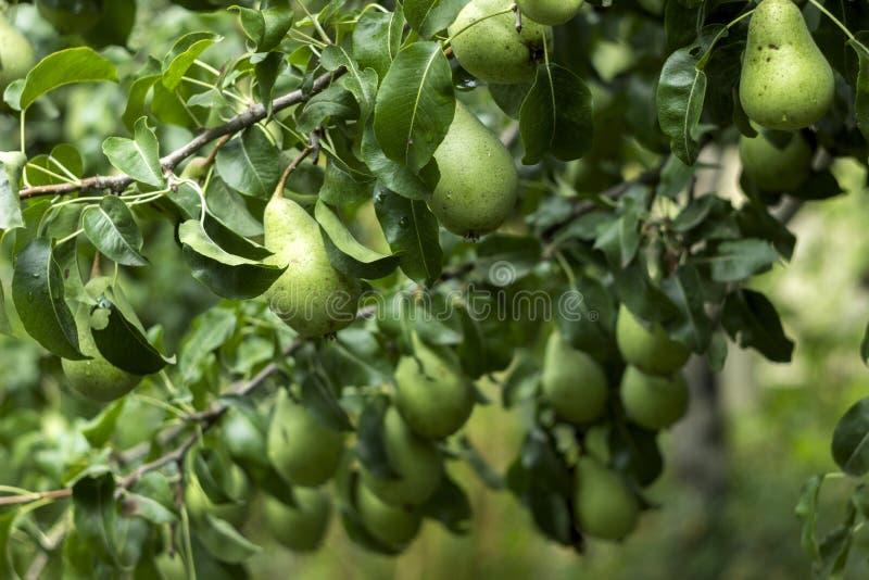 Massor av mogna gröna päron som växer på ett träd, den användbara hösten, bär frukt royaltyfri foto