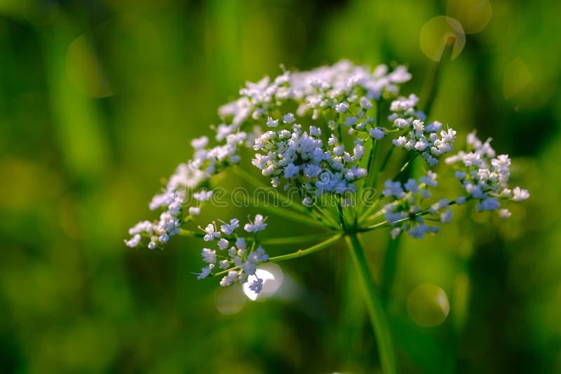 Massor av mycket små vita florets royaltyfri foto