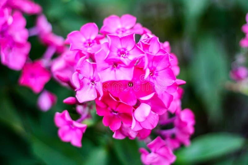 Massor av purpurfärgade små blommor royaltyfria foton