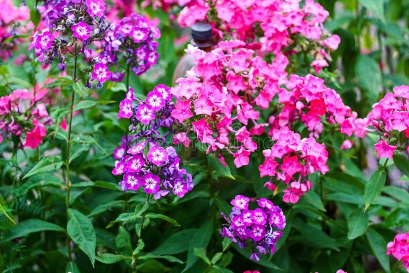 Massor av purpurf?rgade sm? blommor royaltyfria bilder
