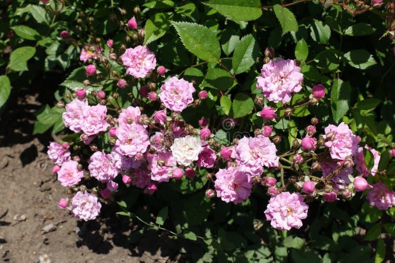 Massor av rosa blommor och knoppar av rosen royaltyfria foton