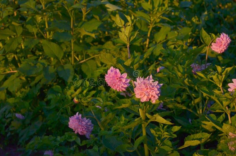 Massor av rosa dahliablommor M?rker med belysning fotografering för bildbyråer