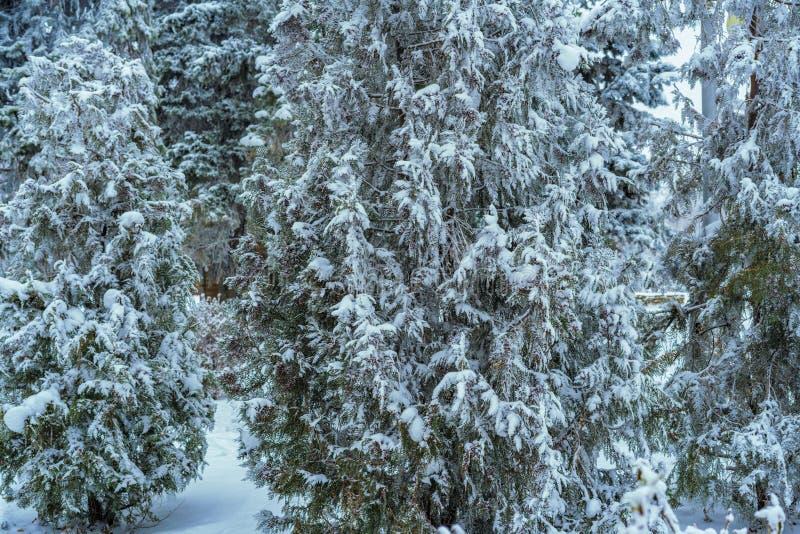 Massor av snö täcker enormt sörjer trädskogen i berg i kall dag b arkivbild