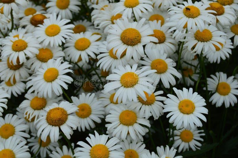 Massor av tusenskönor med härliga vita kronblad i ängen royaltyfria foton