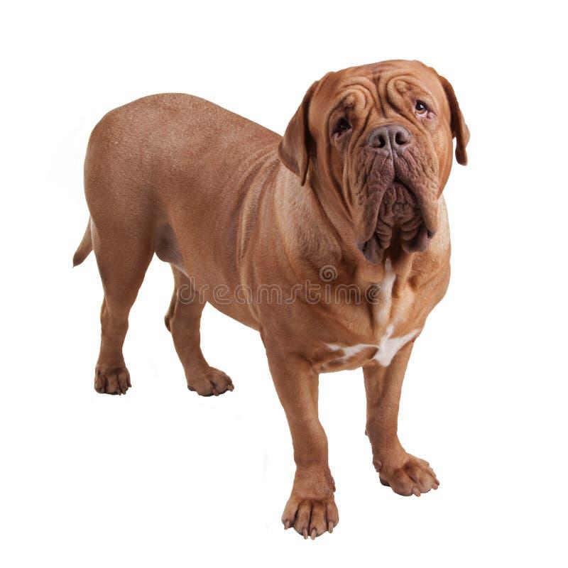 Mastín de Dogue de Bordeaux/french imagenes de archivo