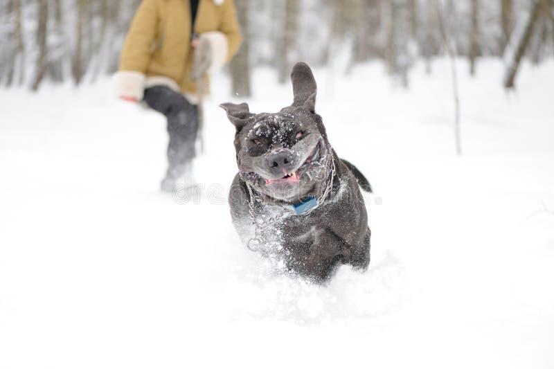 Mastín napolitano de salto del perro fotografía de archivo