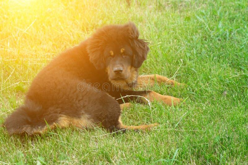Mastín tibetano del perrito que descansa después de un paseo fastidioso Retrato retro foto de archivo