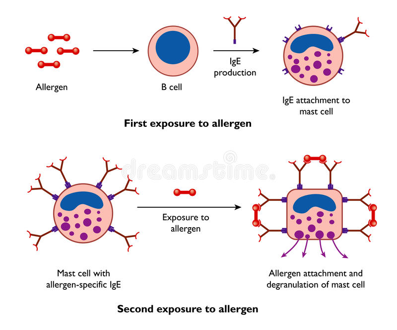 Mast cells and allergy stock illustration