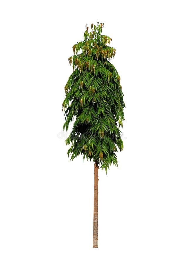 Mast Tree or Cemetery Tree royalty free stock image
