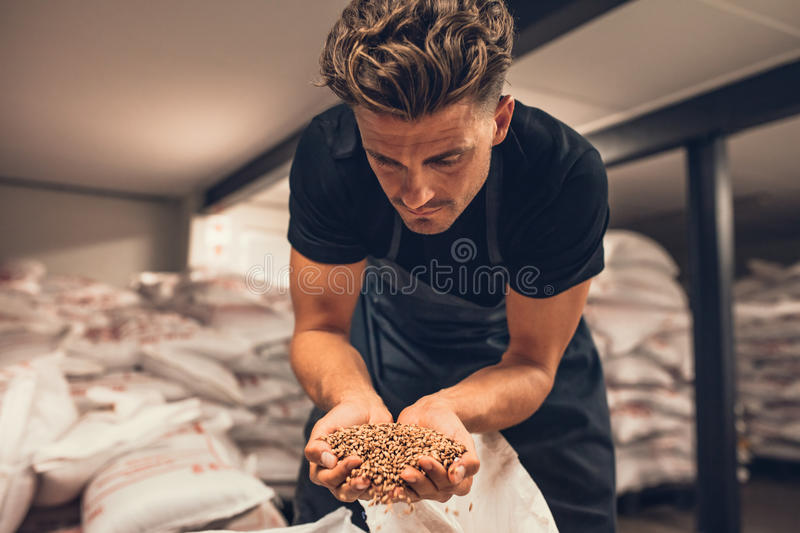 Master brewer checking the barley seeds. Before they are enter in the system of brewing. Employee examining the barley from gunny bag at brewery factory stock photo
