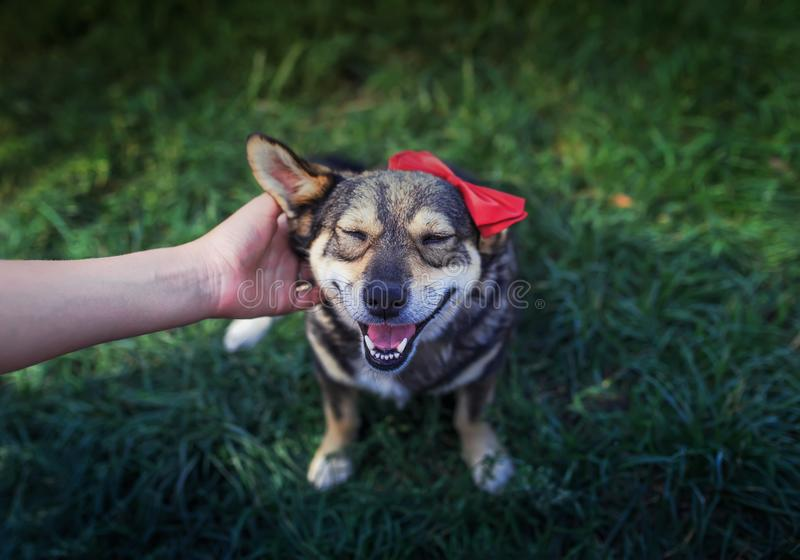 Master hand of a man strokes behind the ear cute brown a pretty smiling dog in a smart red butterfly in a summer garden on green stock photography