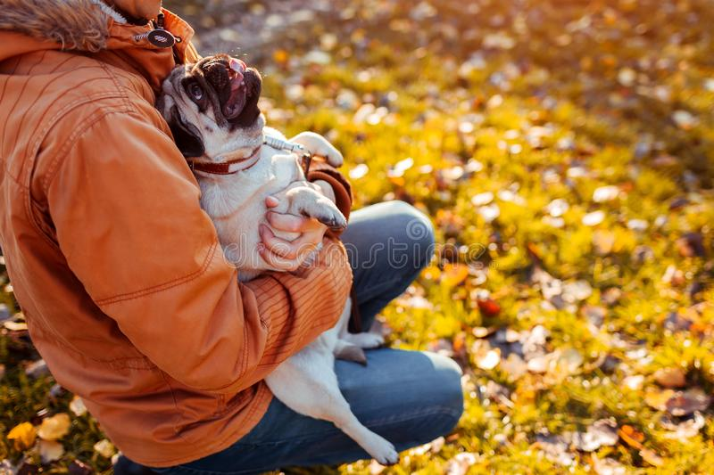 Master holding pug dog in hands in autumn park. Happy puppy looking on man and showing tongue royalty free stock photo