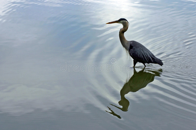 Download Master of solitude stock photo. Image of heron, fisher - 156092