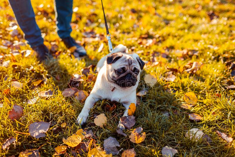 Master walking pug dog in autumn park. Happy puppy sitting on grass by man`s legs. Dog resting stock photography