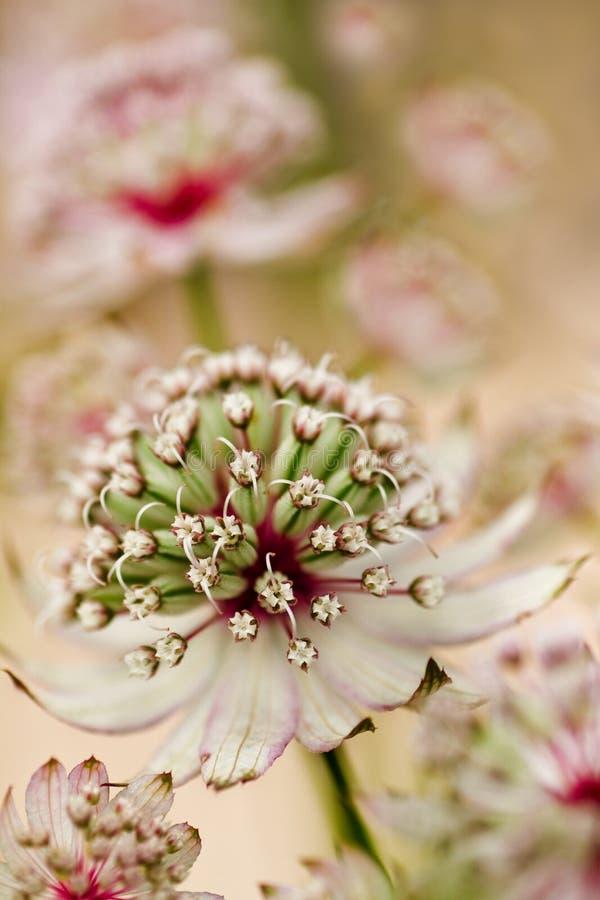 Masterwort of bloemen Astrantia in de zomer royalty-vrije stock fotografie