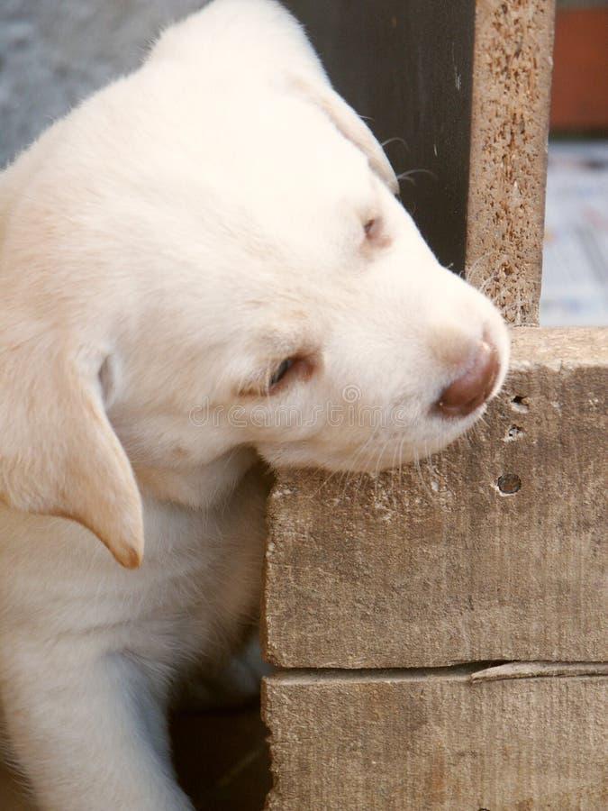 Mastication du chiot de Labrador photo stock