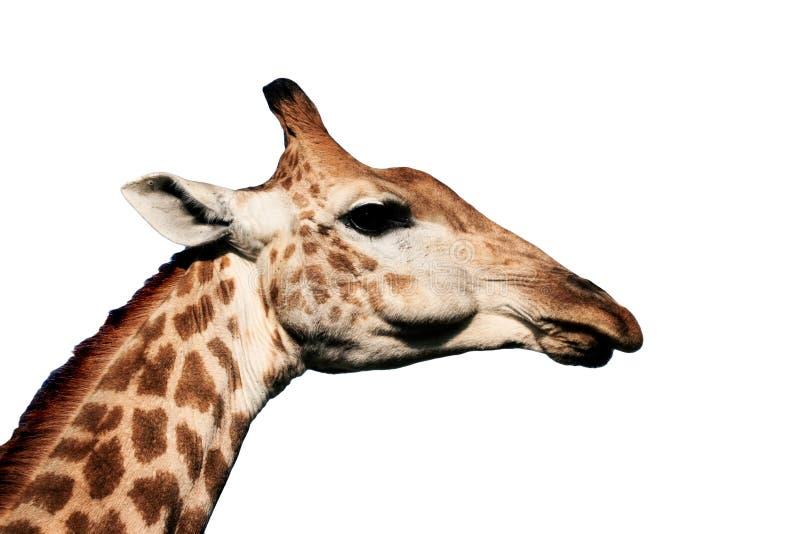 Masticazione della giraffa immagine stock