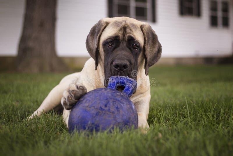 Mastif i jej zabawka obrazy stock