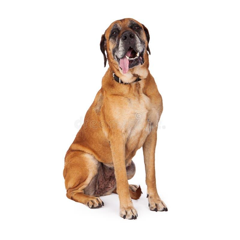 Mastifa pies z jęzorem Wiszącym Out fotografia stock
