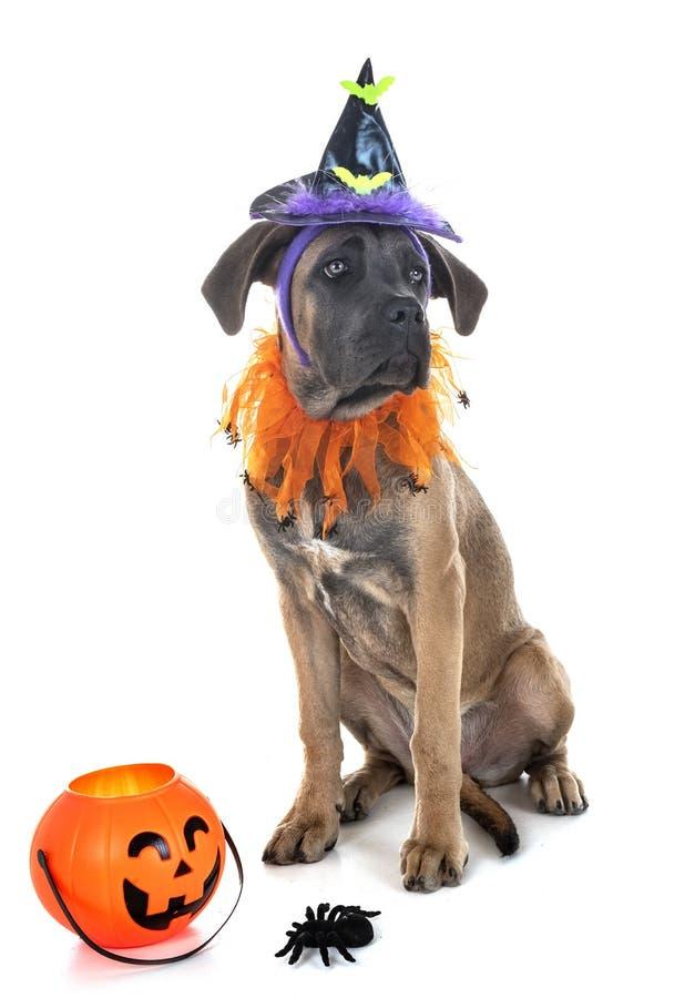 Mastiff и хеллоуин щенка итальянский стоковое изображение