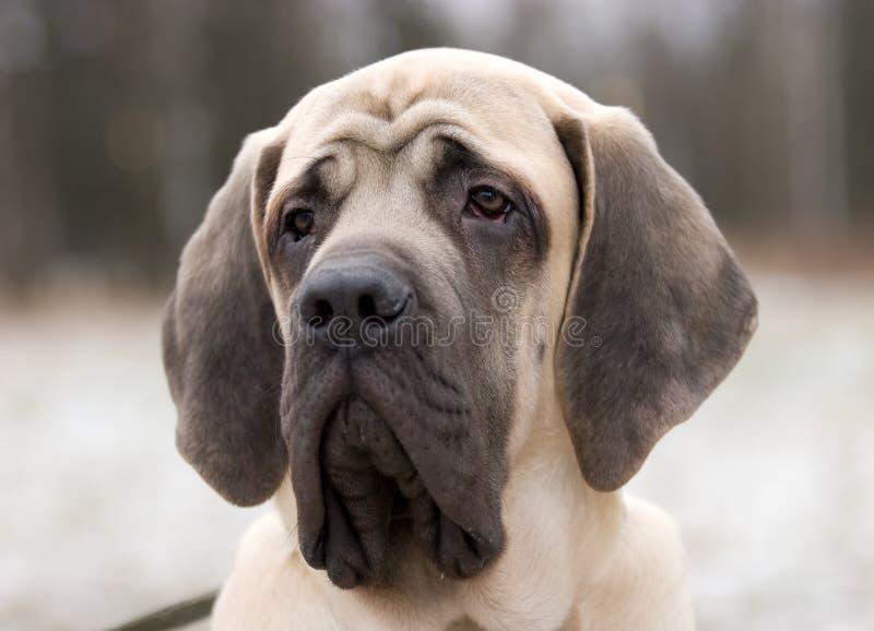 Mastiff photos libres de droits