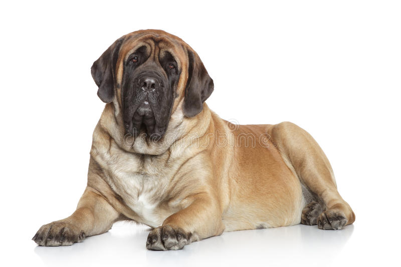 Mastiff anglais sur le fond blanc photo libre de droits
