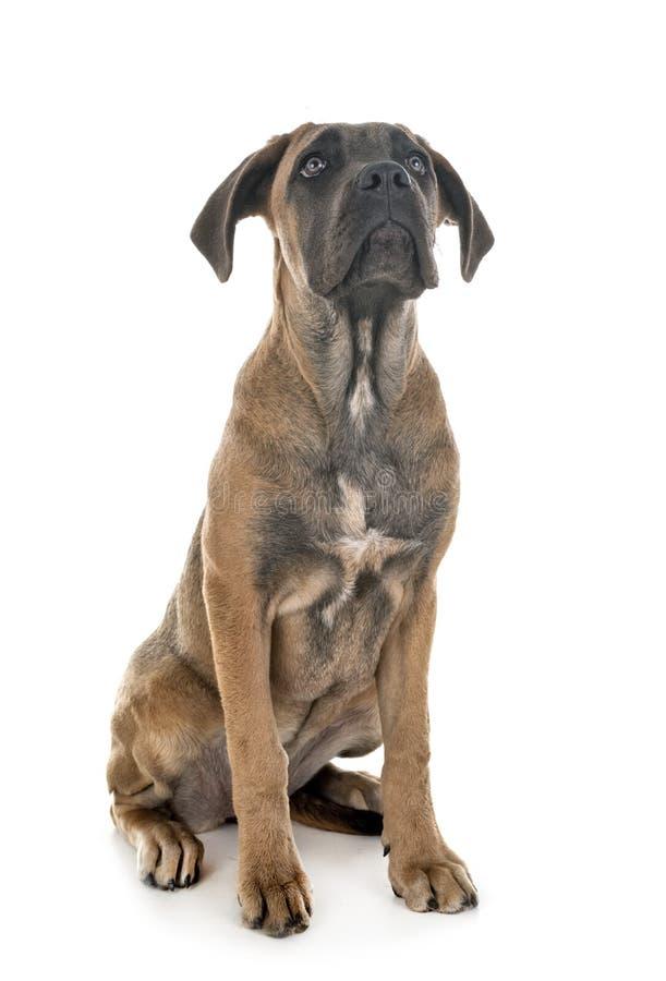 Mastiff d'Italien de chiot photo libre de droits