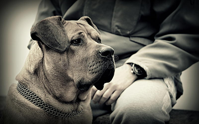 Mastiff de Japonais de Tosa Inu photos stock