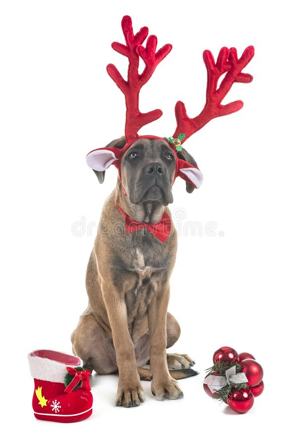 Mastiff do italiano do filhote de cachorro imagens de stock royalty free