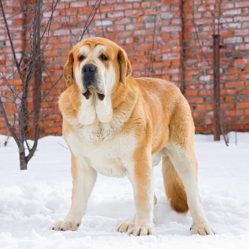 Mastiff espanhol imagem de stock
