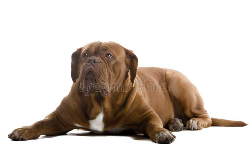 mastiff för bordeauxhundfransman arkivfoto
