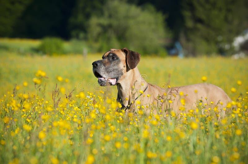 mastiff för tysk 3 arkivbild