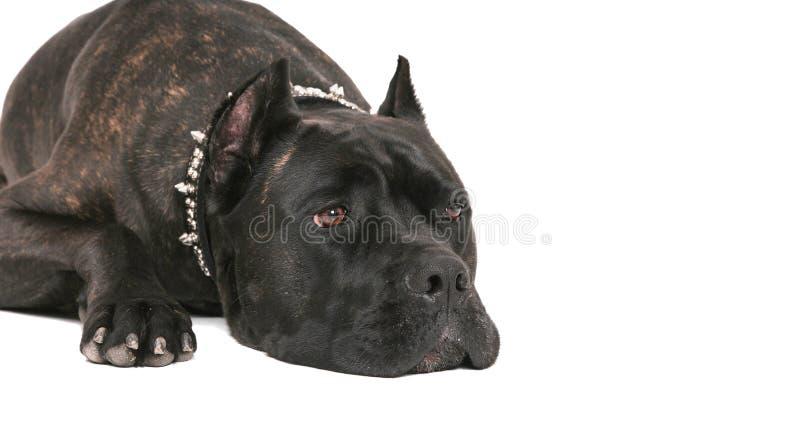 Mastiff nero immagini stock libere da diritti