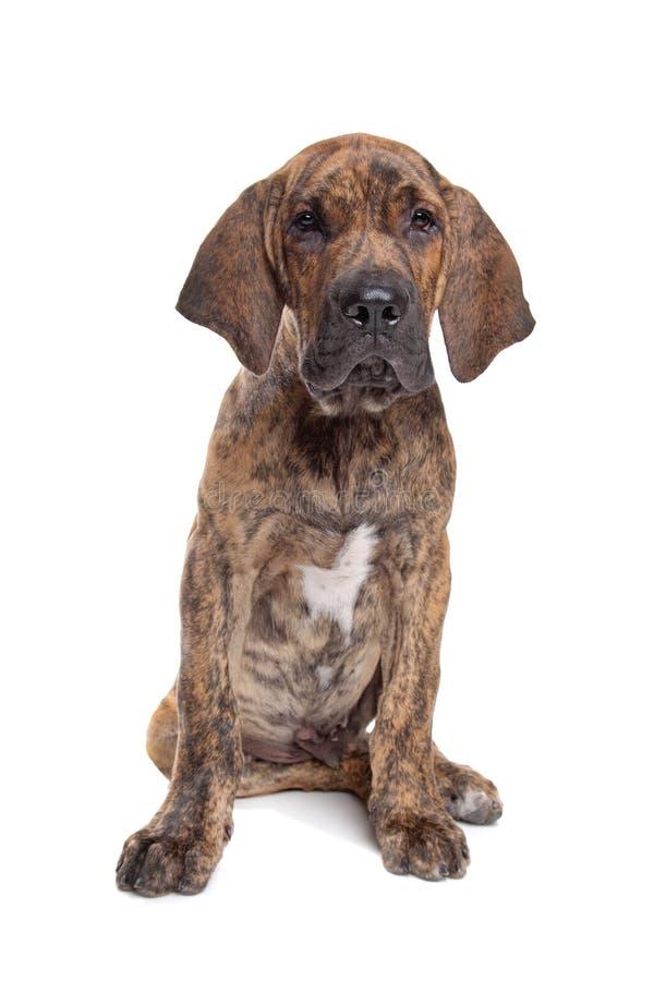Mastiff ou filamentos brasileiros Brasileiro fotos de stock
