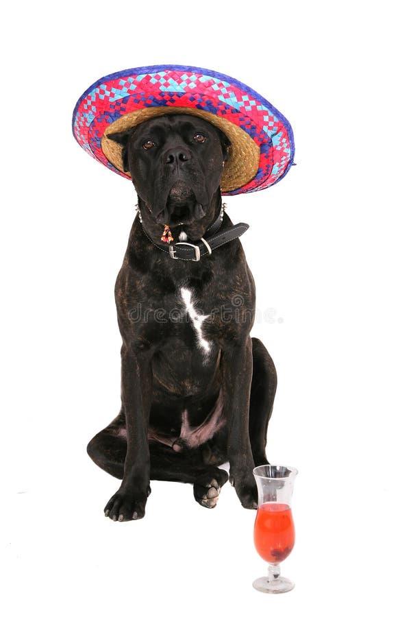 Mastiff Partying fotografia stock