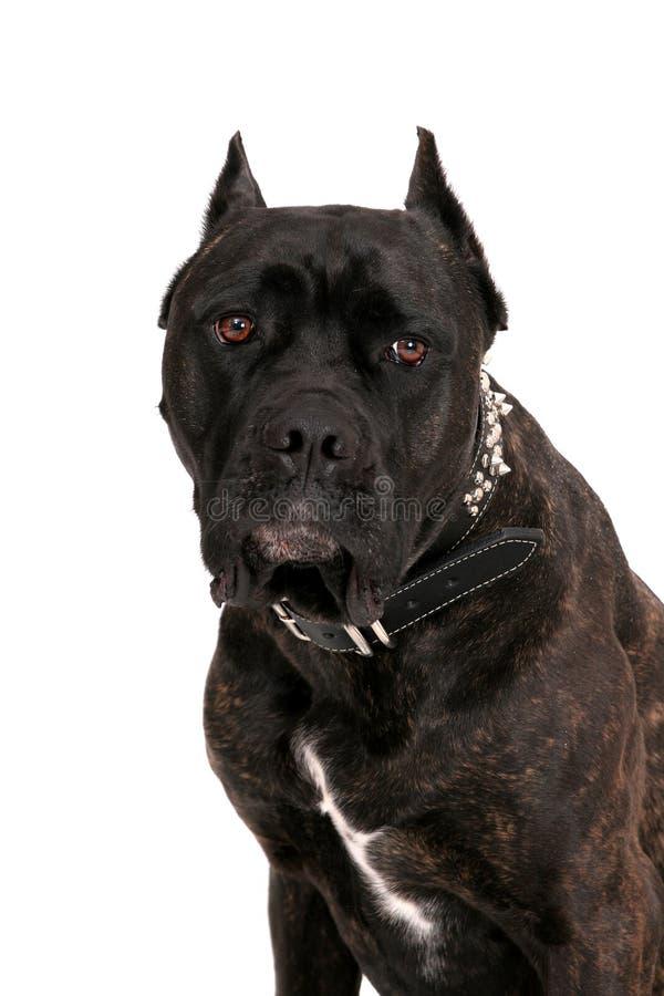 Mastiff portrait stock images