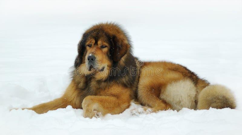 Mastiff tibétain images libres de droits