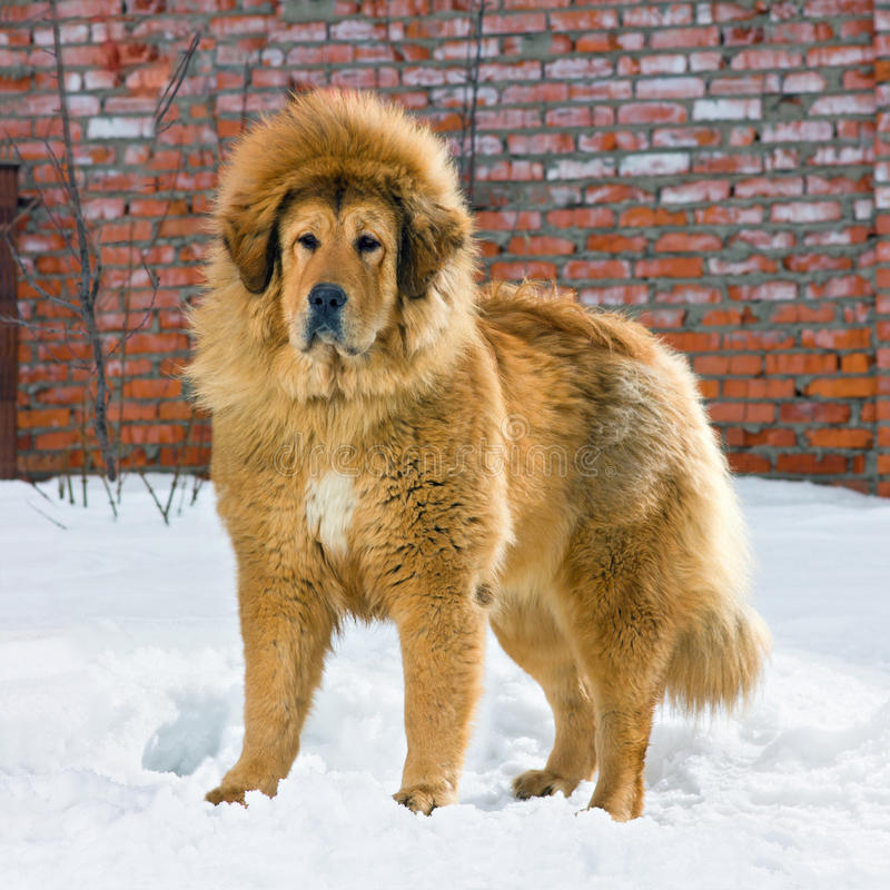 Mastiff tibétain images stock