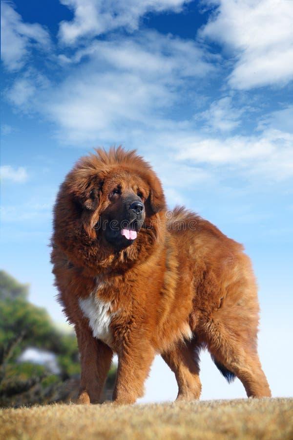 Mastiff tibetano immagine stock libera da diritti