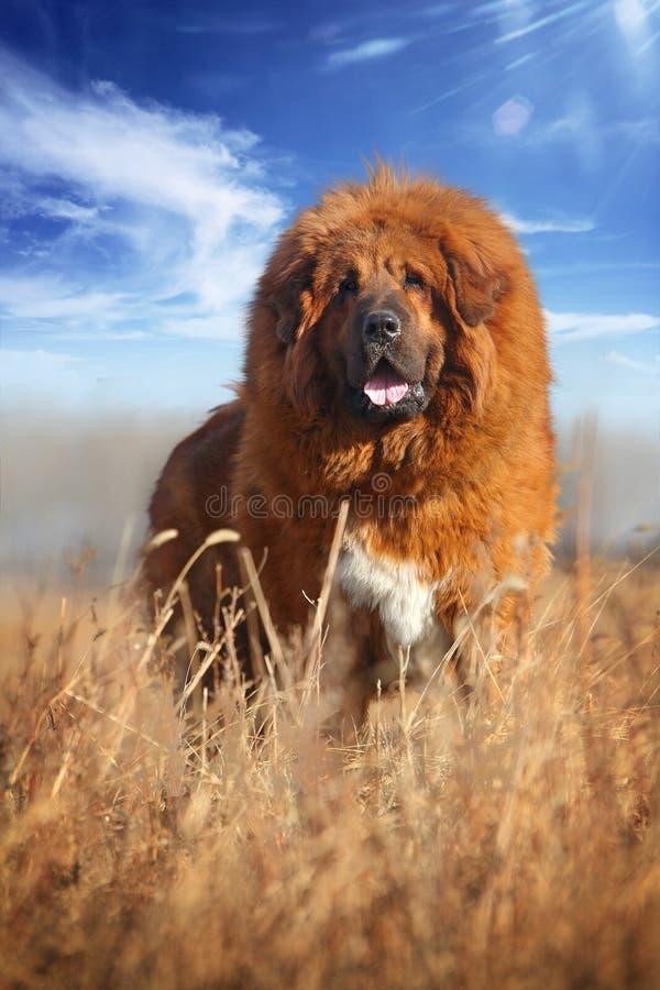 Mastiff tibetano fotografie stock