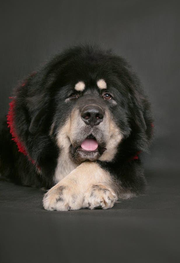 Mastiff tibetano em um fundo preto. fotos de stock royalty free