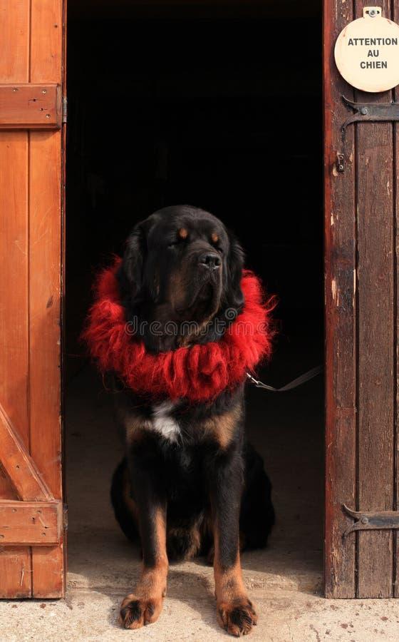 Mastiff tibetano nella porta fotografia stock libera da diritti