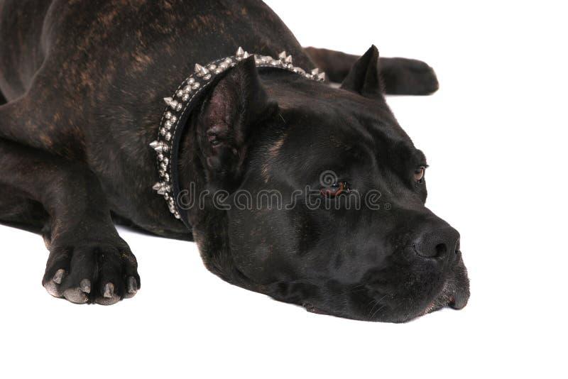 Mastiff triste sopra bianco fotografia stock libera da diritti