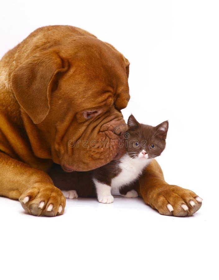 Mastiff vom Bordeaux und von einem kleinen Kätzchen. stockfotos