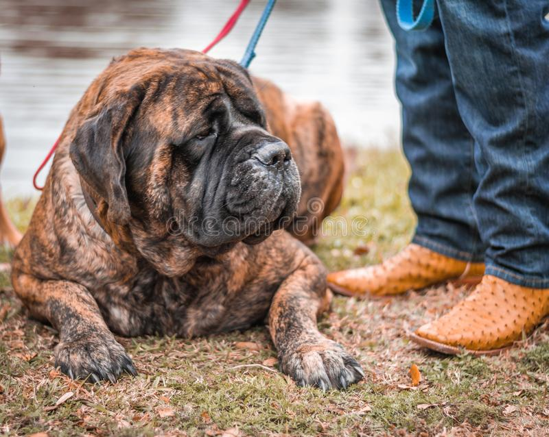 Mastiffs and Cowboy Boots stock photography