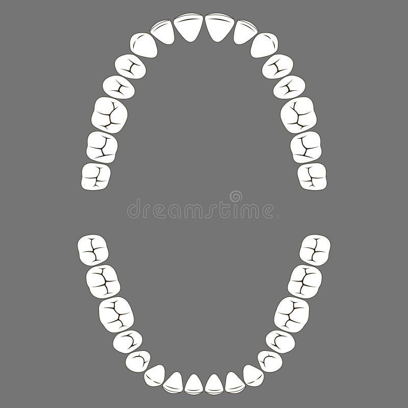 Mastigação de superfície dos dentes humanos superiores e da mais baixa maxila ilustração royalty free