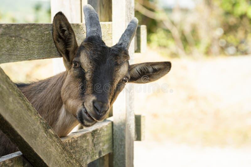 Mastigação nova da cabra imagem de stock