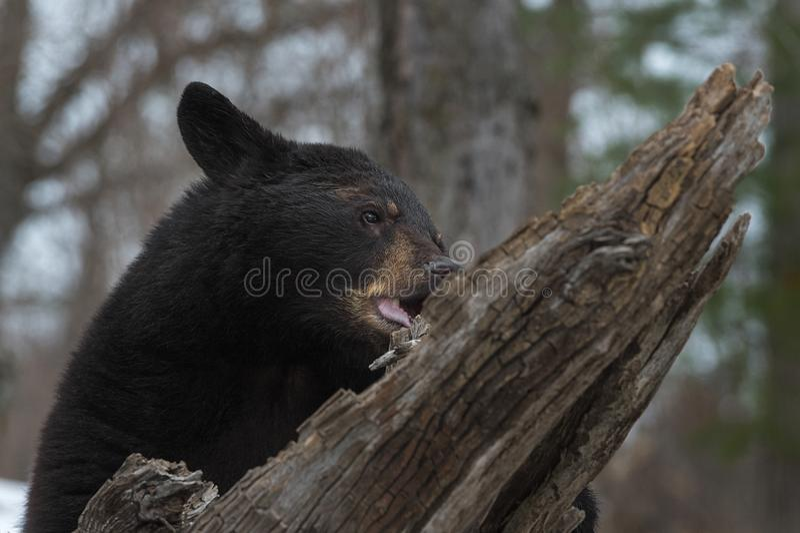 Mastigações americanas do Ursus do urso preto no log fotografia de stock