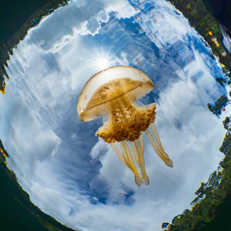 Mastigias Papoea of Gouden kwal Het Meer van Lenmakanakwallen, Misool royalty-vrije stock afbeeldingen