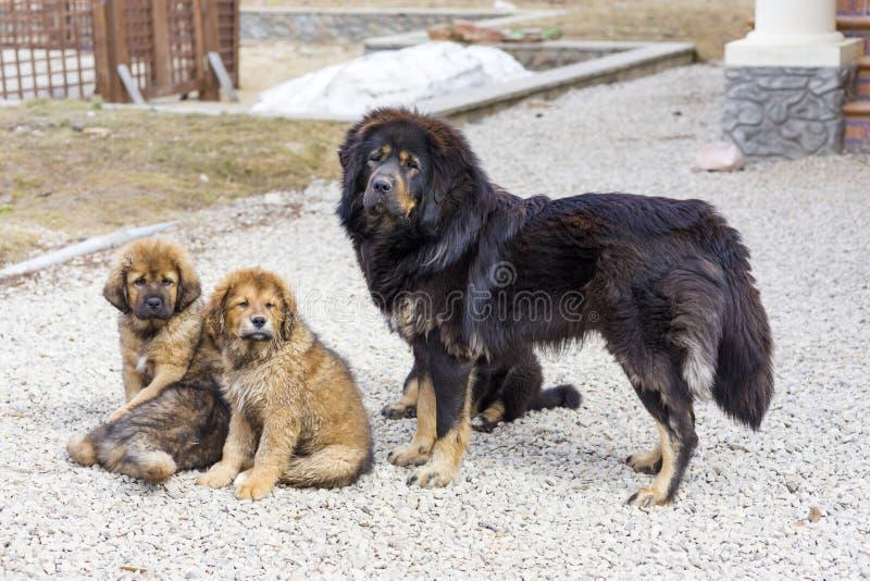 Mastim tibetano da raça do cão com cachorrinhos imagem de stock